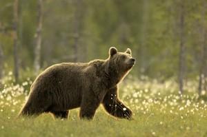 306056-l-ours-brun-aux-aguets